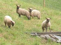 U naší chalupy se pasou ovce